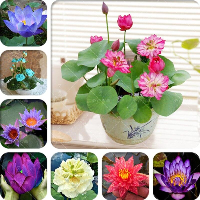 5 Pcs Bowl lotus Bonsai Hydroponic Plants Aquatic Plants Flower Bonsai Pot Lotus Water Lily plant Bonsai Garden Easy to Grow