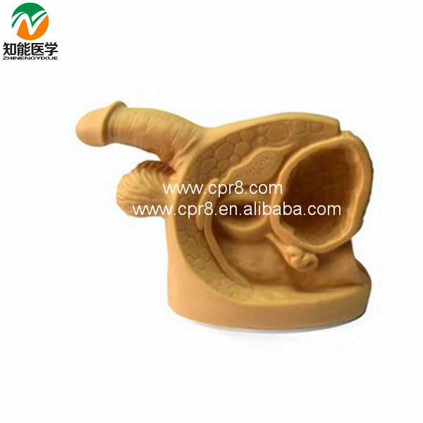 Inside And Outside Of The Male Genitalia And Urethral Catheterization Model BIX-H5D W160 male genital organs male genitalia anatomical model structure male reproductive organs decomposition model