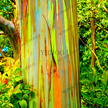100pcs/bag Hawaii Rainbow Eucalyptus Tree, 100% Genuine beautiful Ornamental Tree,free shipping