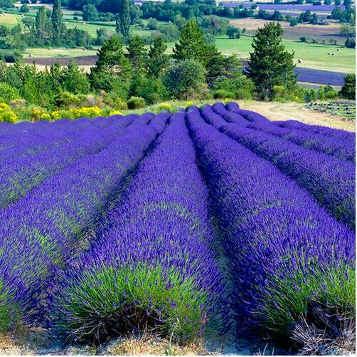 100/bag france lavender seeds, lavender angustifolia beautiful flower outdo..