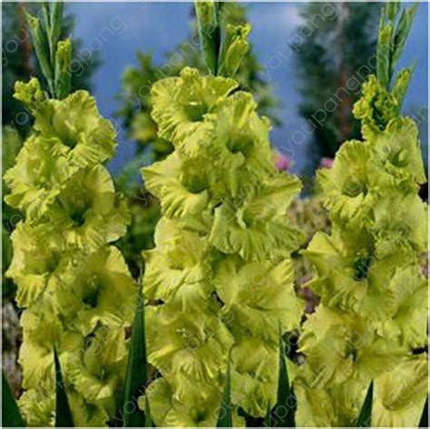 100 قطعة زهرة غلاديولوس متعددة الألوان ، 95% إنبات ، لتقوم بها بنفسك هوائية بوعاء ، نادرة غلاديولوس بونساي زهرة النباتات حديقة الديكور