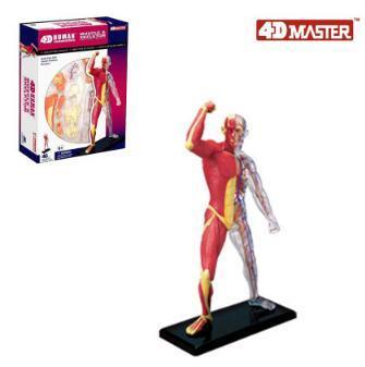 4D muscle  model 46 part human anatomy model, new 3D muscle model