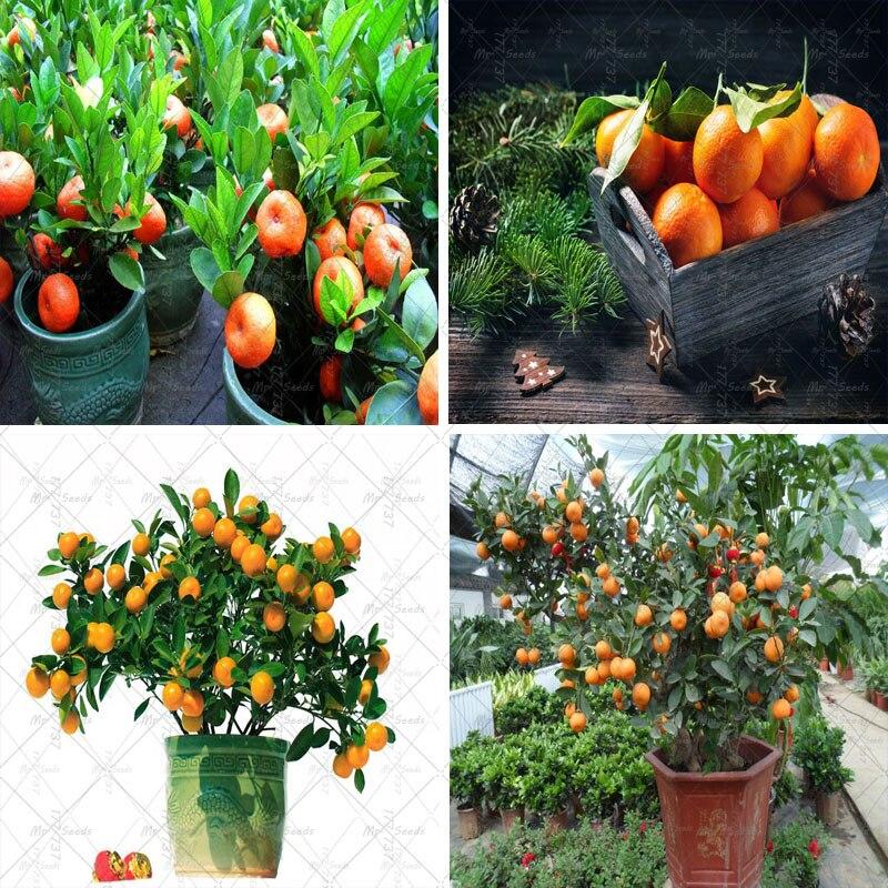 20pcs / bag Bonsai Orange Tree Seeds, Organic Fruit Trees Seeds Pot Planting, Balcony Garden Potted Planting Seeds