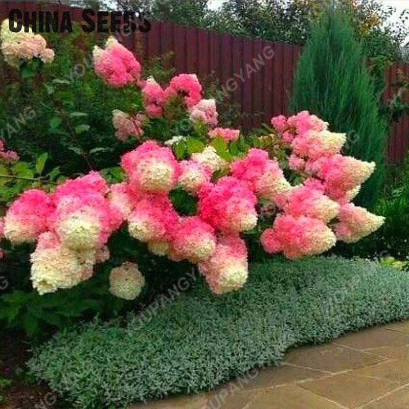 20pcs/pack Hydrangea Paniculata Vanilla Fraise Strawberry Hydrangea Bonsai Bonsai Flower Bonsai Potted Plant For Home Garden Pla