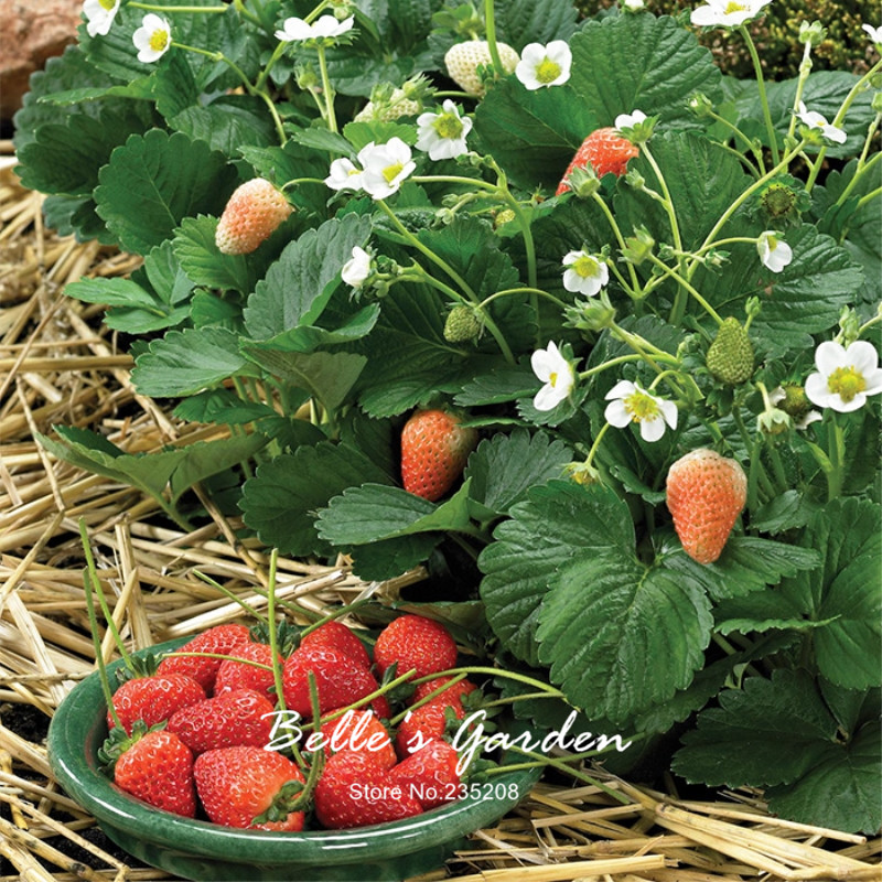 100pcs Delicion Strawberry Seeds Red Strawberry Berry Fruit Seeds Decilious Fruit Home G ...
