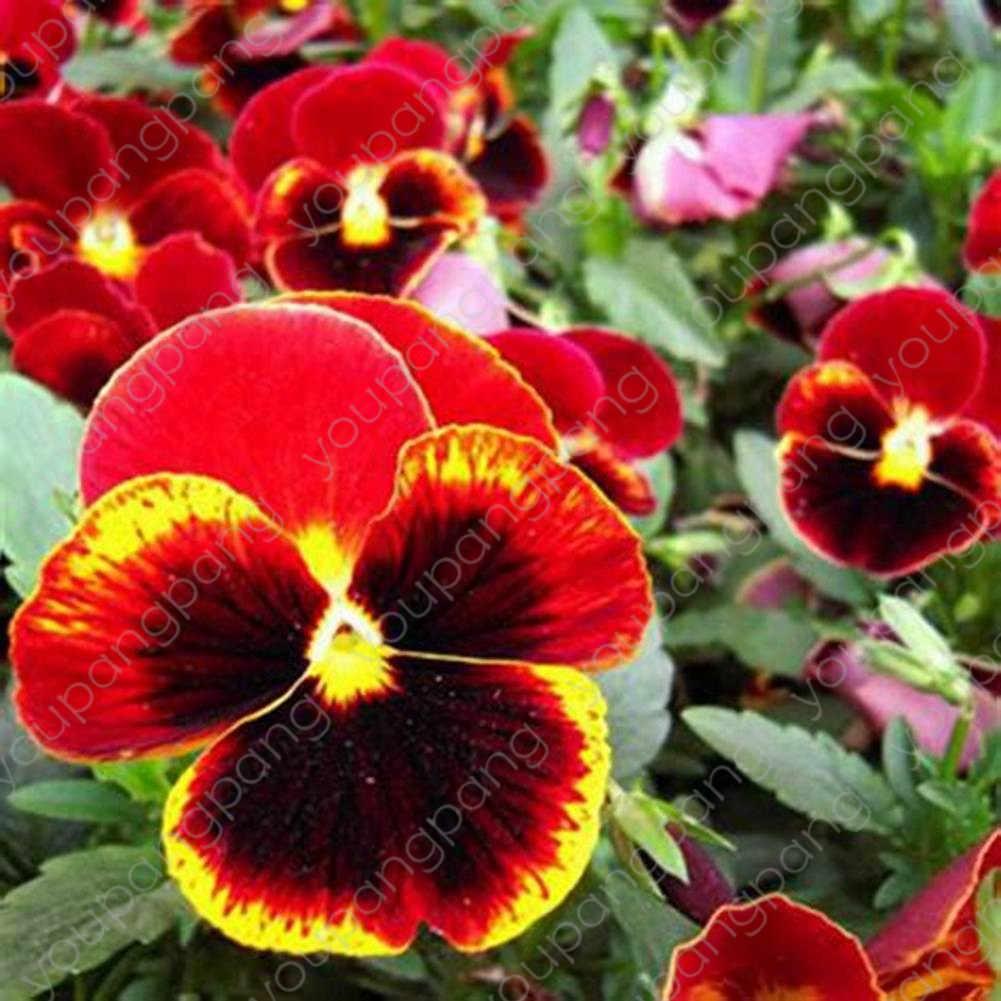 Viola pansy bonsai 100pcs pansy หายากพืชบ้าน & สวนพืช Indoor yard ดอกไม้ร้อนขายง่าย grow