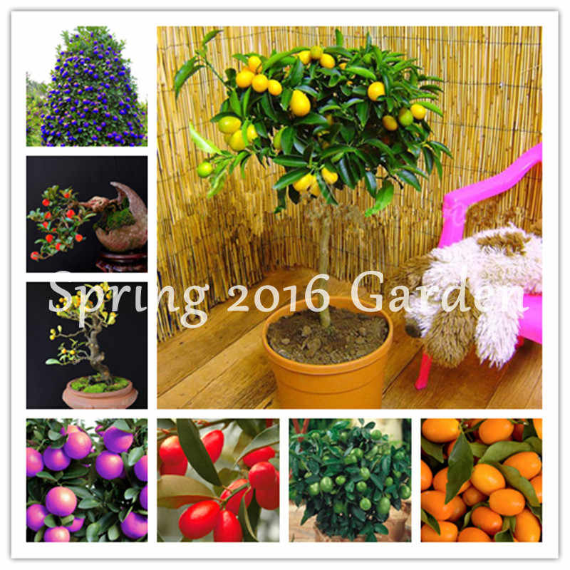 Promosi! 50 Pcs Kumquat Bonsai Orange Balkon Teras Pot Lezat Pohon Buah Lezat Juicy Orange untuk Taman Rumah Plantas