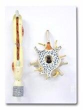 human manikin skeleton anatomical anatomia  Neuron Model, 2,500X Life Size, 2-Parts Model anatomy in trauma medical training