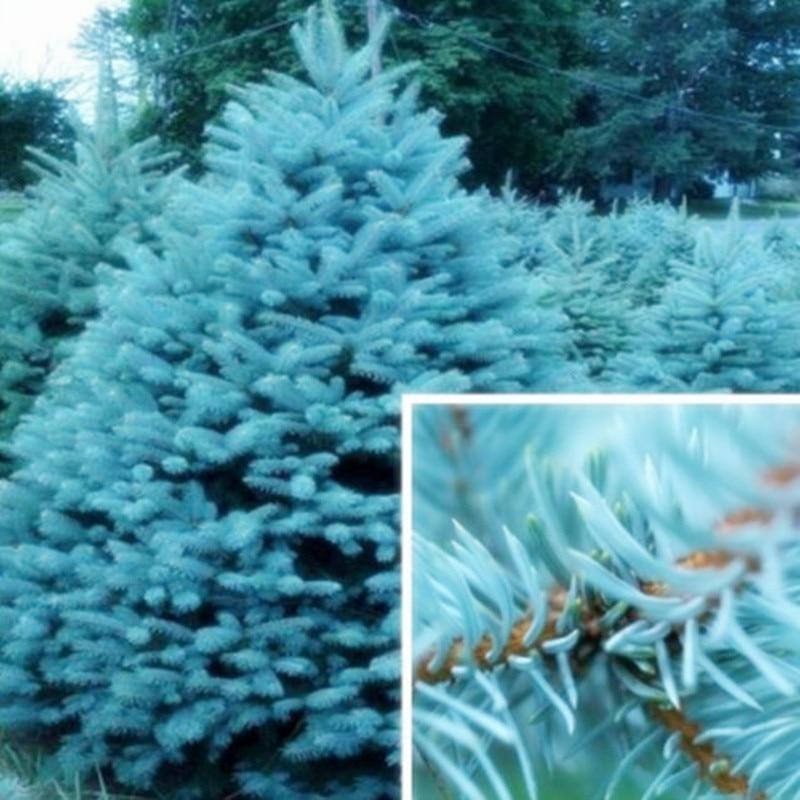 Голубая ель bonsais Picea дерево горшках бонсай для внутреннего дворика завод сосна bonsais 20 шт