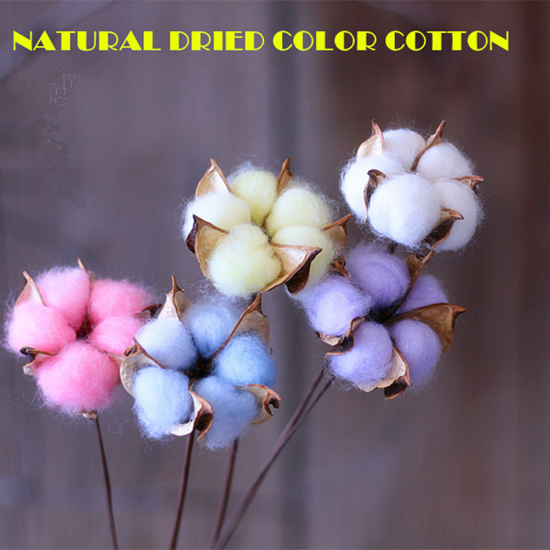 life as a cotton bud Gossypium hirsutum (upland cotton): brief facts,  (life cycle) cotton is cultivated as an annual  a fruiting bud,.