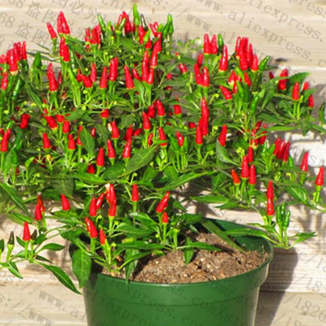 200Pcs-Giant-Spices-Spicy-Red-Chili-Hot-Pepper-flores-Plants-potted-bonsai-garden-courtyard-balcony-plant.jpg_640x640 (2)_