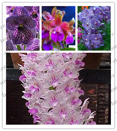 Image 1 - 100pcs Rare Cymbidium orchid Plants African Cymbidiums Plantas Phalaenopsis bonsai flower for home garden decoration-in Bonsai from Home & Garden