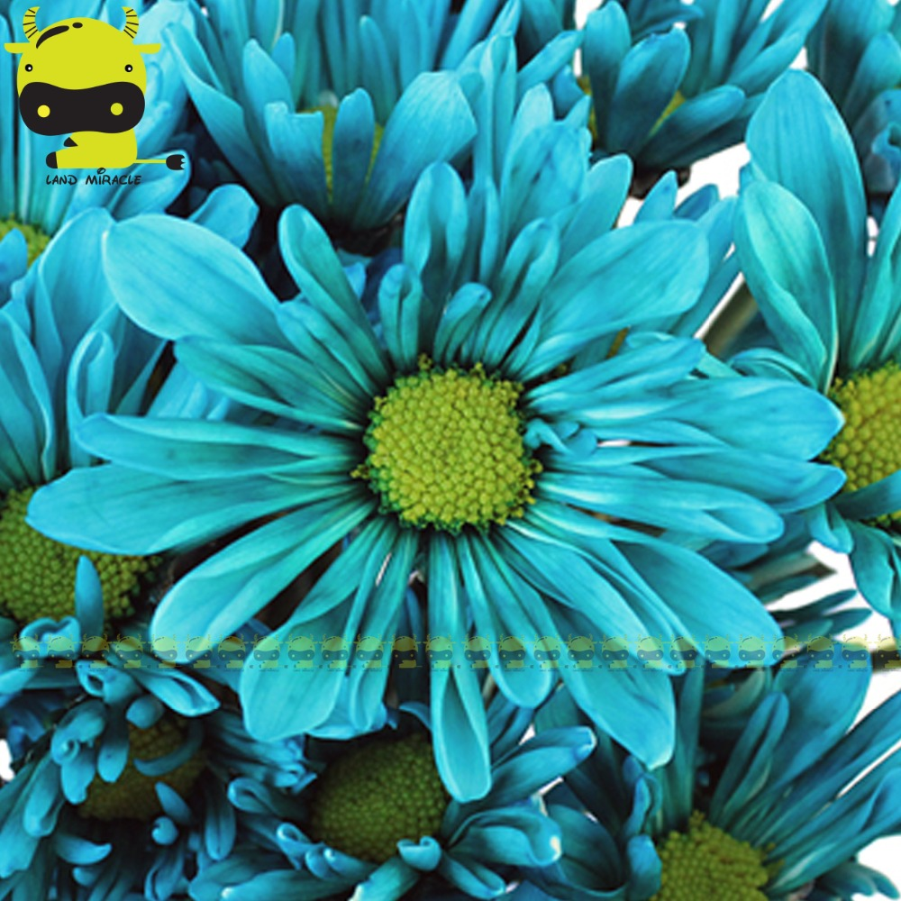 Turquoise blue daisy flower 100 seedspack bellis perennis turquoise blue daisy flower 100 seedspack bellis perennis marguerite exotic flowers in bonsai from home garden on aliexpress alibaba group izmirmasajfo