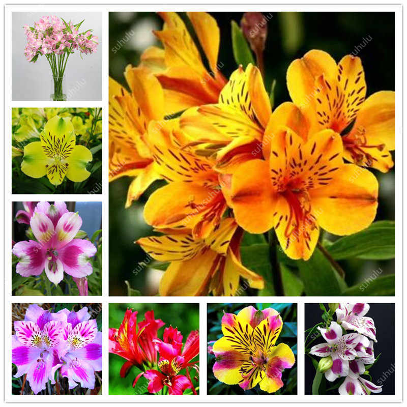 Free Shipping 100 pcs Rare Peruvian Lily Alstroemeria Flower Mix-color Beautiful Flower for Home & Garden Decoration Flowers Pot