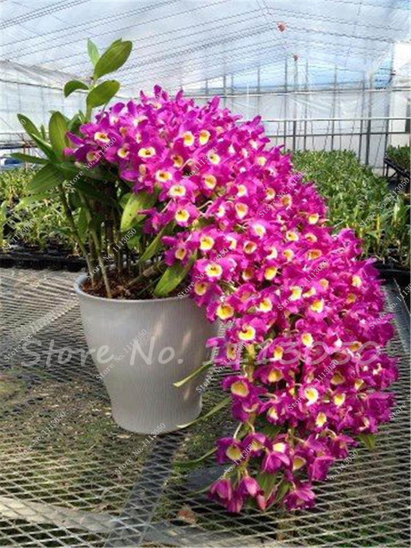 100 Pcs Dendrobium Seeds Potted Seed Flower In Bonsai Rare Orchid Plants The