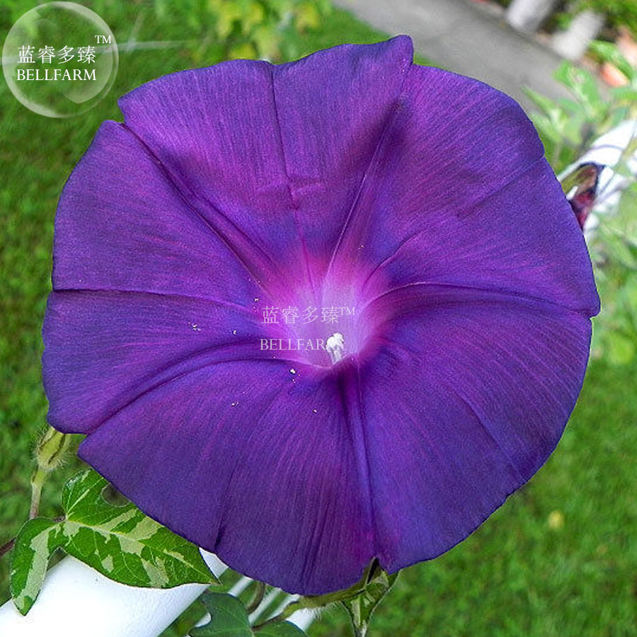 Large Of Morning Glory Seeds
