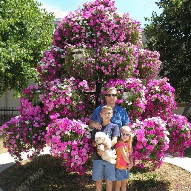 50pcs petunia tree bonsai rare perennial courtyard plant tree flower 50pcs petunia tree bonsai rare perennial courtyard plant tree flower bonsai for home garden planting mightylinksfo
