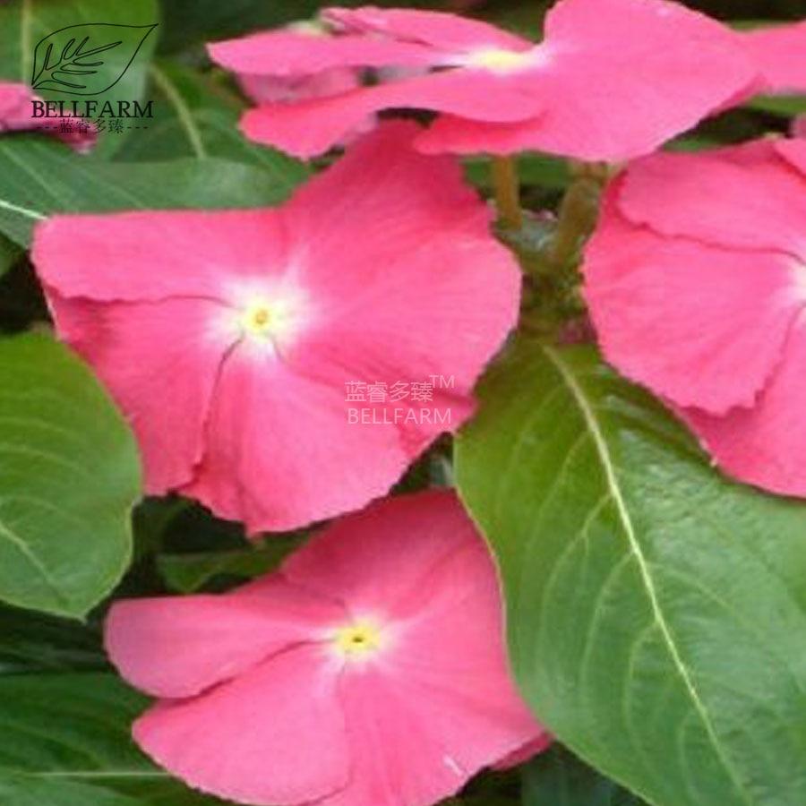 Bellfarm Vinca Rosea Periwinkle Perennial Flowers Seed 20pcs Mixed