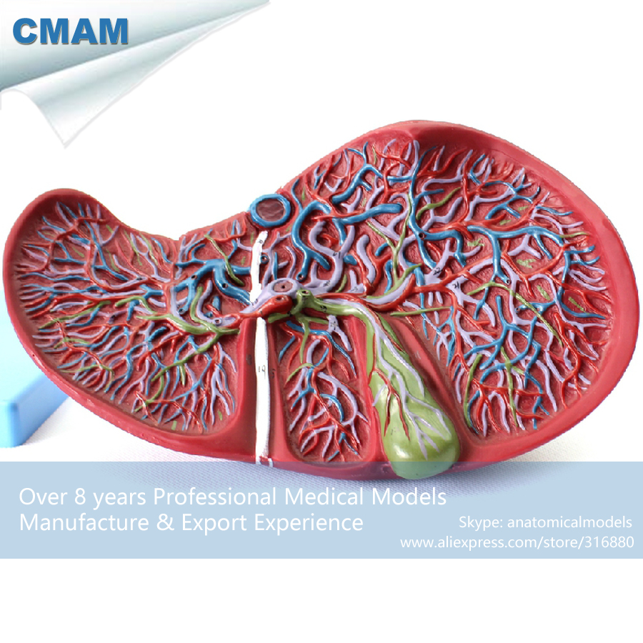 Cmam12544 Viscera Liver And Gallbladder Human Digestive System