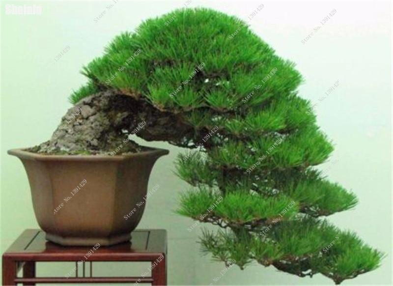 Japanese Black Pine * 40 Pcs *Perennial Pinus Indoor Bonsai Ornamental Plant Evergreen Tree Home Garden Planting Easy Grow