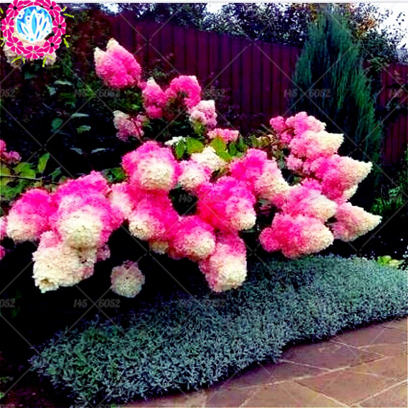 5pcs china Vanilla Strawberry hydrangea Flower tree Seeds for home Garden pot planting perennial outdoor bonsai etc easy to grow