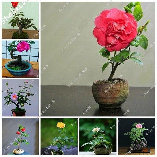 Plantas con flores de interior agua planta csped flor - Bonsai verdecora ...