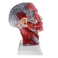 Sagittal Plane 1:1 Human Head Skeleton with Neck Vessel Nerve Arteries Veins Model Lab Supplies Science Toy
