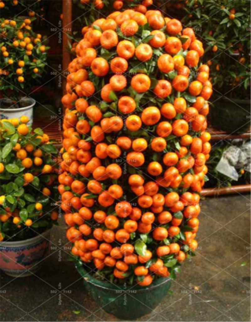 20pcs Fruit bonsai Dwarf Standing Orange Tree flores Indoor Plant in Pot garden decoration plant Kumquat planta Tangerine Citrus