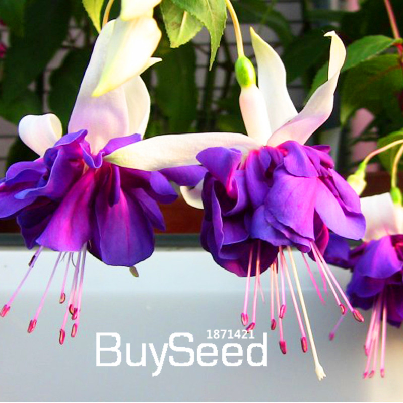 30pcs Purple Wisteria Flower Seeds Perennial Climb Plants Bonsai Home Garden TER