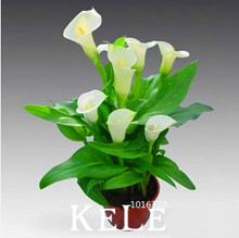 Calla lily seed imported from Holland, calla lily seeds – 50 seeds