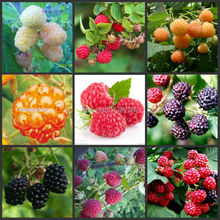 100 pcs - 100% Genuine mix Wild Raspberry bonsai fruit flower vegetable blackberry plants