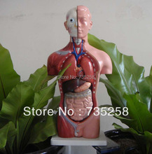 42CM Male Torso 13 Parts,The Human Body Anatomy Teaching Model