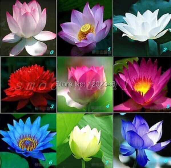 High Quality 100 Original 10pcs Mix Lotus Flower Aquarium Plants