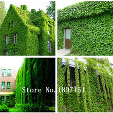 GGG Big sale 200 pcs/Pack Green Boston Ivy Seeds Ivy Seed For DIY Home & Garden Outdoor Plants Seeds Drop Shipping Free Shipping
