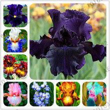 Lowest Price!Iris Orchid Flowers Perennial garden flower seeds,bonsai plant for outdoor 50 seeds/pack DIY Pot Flower Easy To Gro