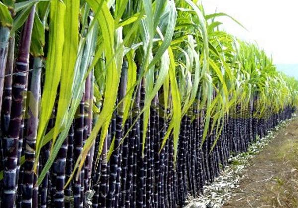 How to Grow Sugar Cane in Pots vegetable garden Sugar cane