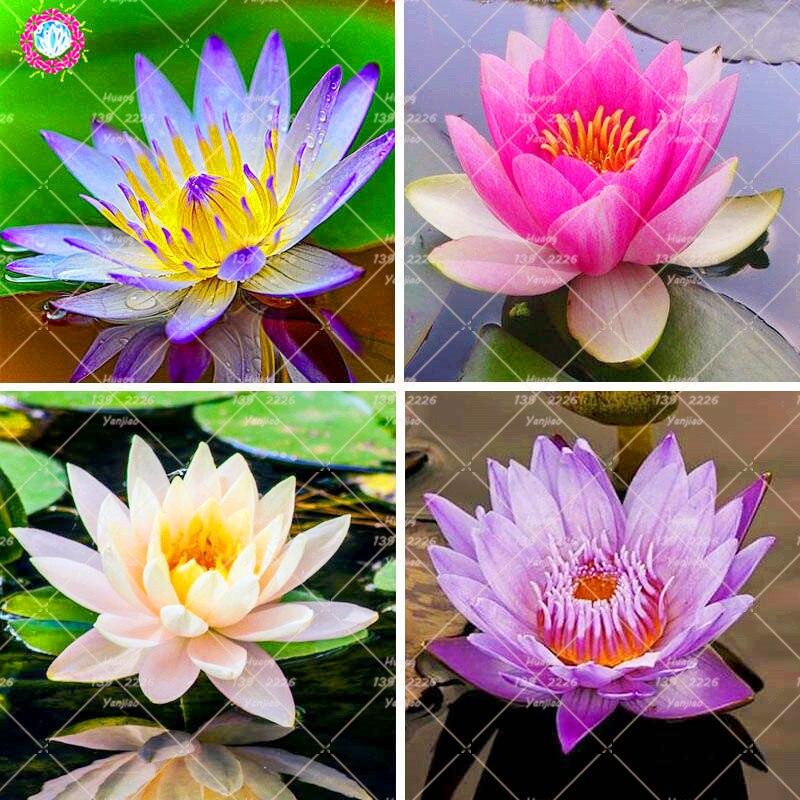 5PCS Blue Lotus Bonsai Aquatic plant potted lotus water lily perennial family garden decorative