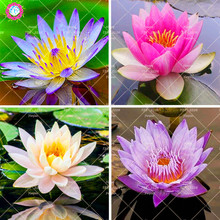 5PCS Blue Lotus Bonsai Aquatic plant potted lotus water lily perennial family garden decorative