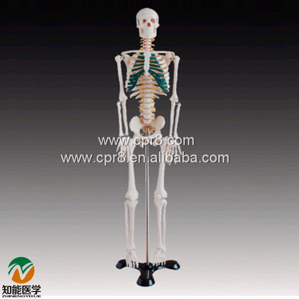 BIX-A1004 85cm Human Spinal Nerves Skeleton Model WBW390 bix a1005 human skeleton model with heart and vessels model 85cm wbw394