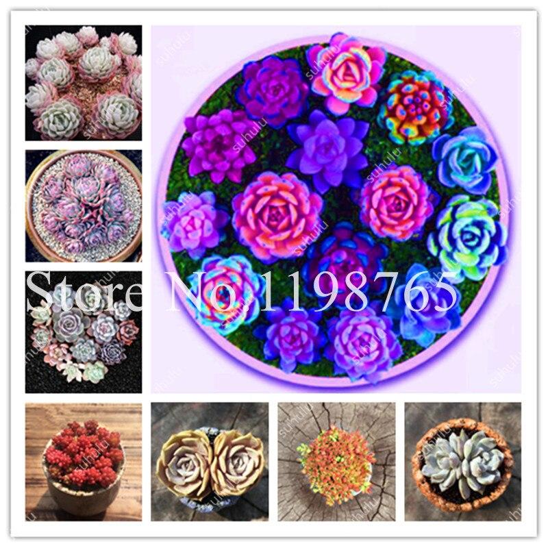 100 Lithops Seeds Rose Shape Pseudotruncatella Succulent Raw Stone Cactus Seed Stems Tetragonia Flower Fleshy Semillas De Flores