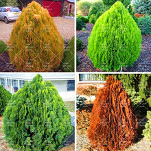 Cypress Tree Seeds Chamaecyparis Cupressus Tree 50pcs