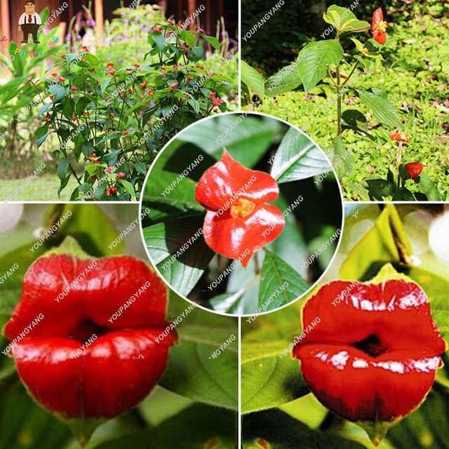 Us 071 10 Offegzotyczne Czerwone Usta Rośliny Rzadko Doniczki Ogrodowe Kwiaty Rośliny Park Yard Roślin Psychotria Rośliny Dla Domu Ogród 120