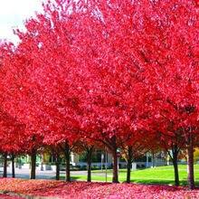 20pcs Red Japanese Maple Acer Palmatum Atropurpureum Seeds
