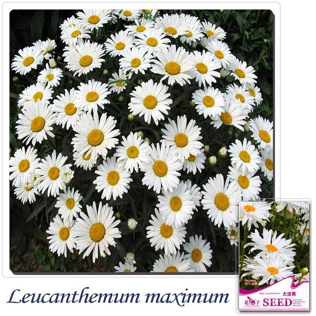Купить 2 получить 1! (Может накапливаться) 1 упак. 50 семян больше белый Хризантема сад цветов Семена A093