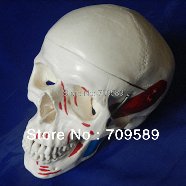 ISO Deluxe Adult skull with colored muscles, Skull modelISO Deluxe Adult skull with colored muscles, Skull model