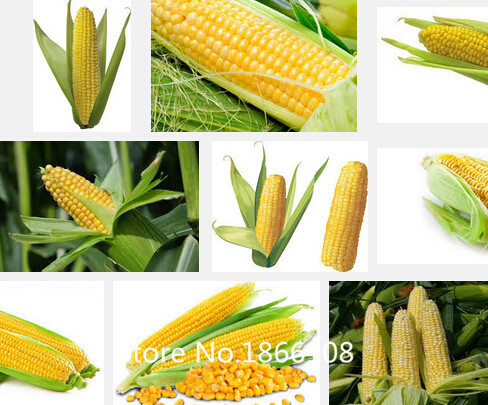 Corn Plant popular corn plant-buy cheap corn plant lots from china corn plant