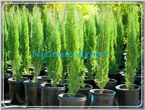 Large evergreen trees promotion shop for promotional large - Arboles de jardin de hoja perenne ...