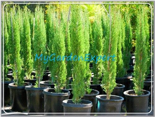 rare rboles de cypress semillas semillas unidsbolsa conifer de hoja perenne para el