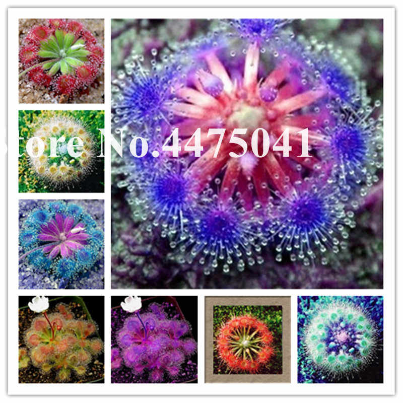 Бонсай Sundew, голубая Чаровница Плотоядные растения кастрюля Drosera Peltata балкон горшечная защита от радиации-100 шт./партия