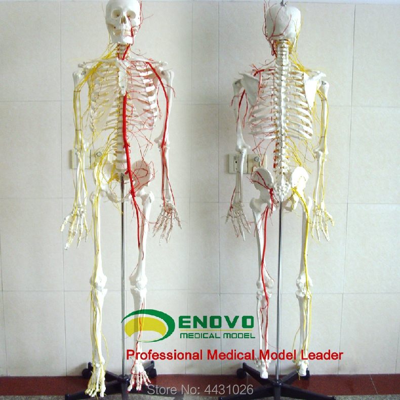 ENOVO Professional medical human 170CM skeleton bone and blood vessel skeleton specimen bone model medicine prediction of bone length from bone fragments